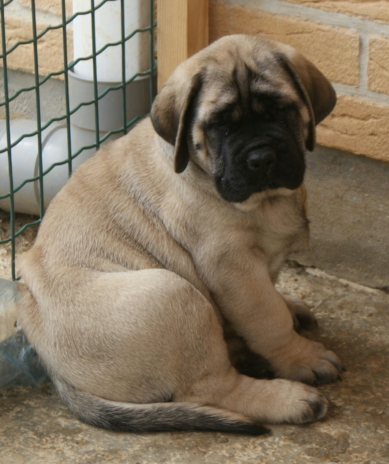 50 Very Beautiful English Mastiff Dog Pictures And Images