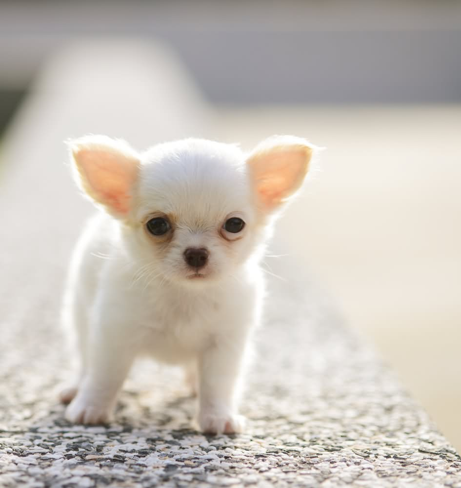 White Chihuahua Dog Photos And Pictures