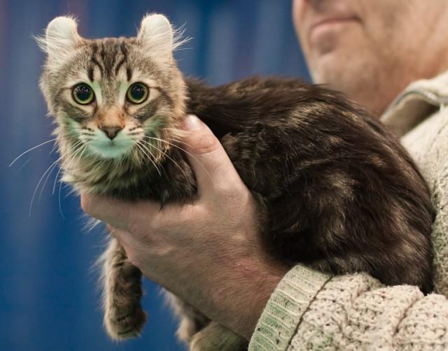 American Curl Cat Origin