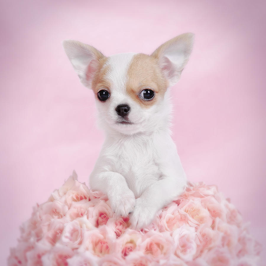 35 Very Cute Chihuahua Puppy Pictures And Images