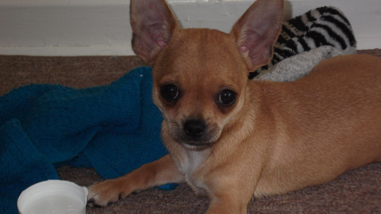 55+ Very Beautiful Chihuahua Dog Photos And Pictures