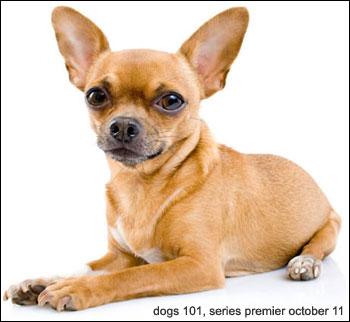 55 Very Beautiful Chihuahua Dog Photos