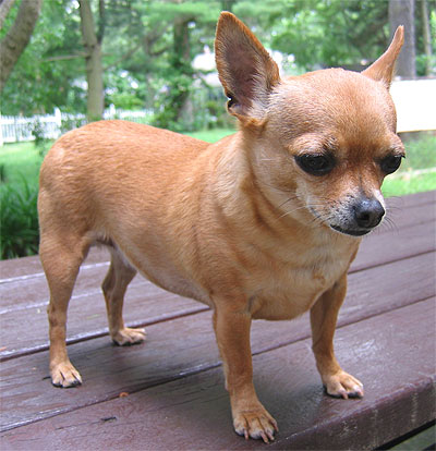 chihuahua fat 55 very beautiful chihuahua dog photos and pictures 2216