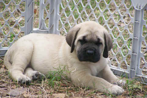 50 Very Cute English Mastiff Puppy Pictures And Images