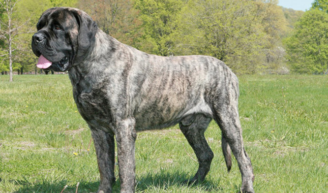25 Most Adorable Full Grown English Mastiff Dog Pictures ...