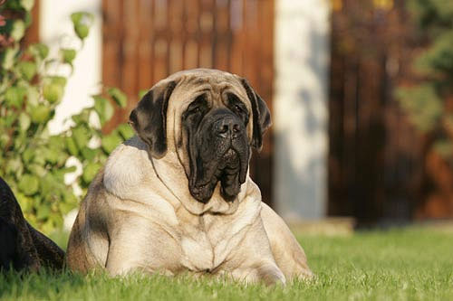 35 Most Adorable English Mastiff Dog Photos And Images