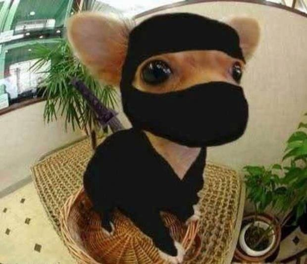 : chihuahua costume  - Germanpascual.Com