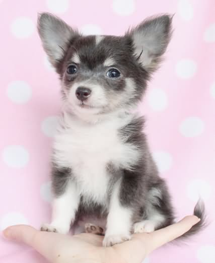 Grey And White Long Hair Chihuahua Puppy Sitting Black And White Short Hair Chihuahua