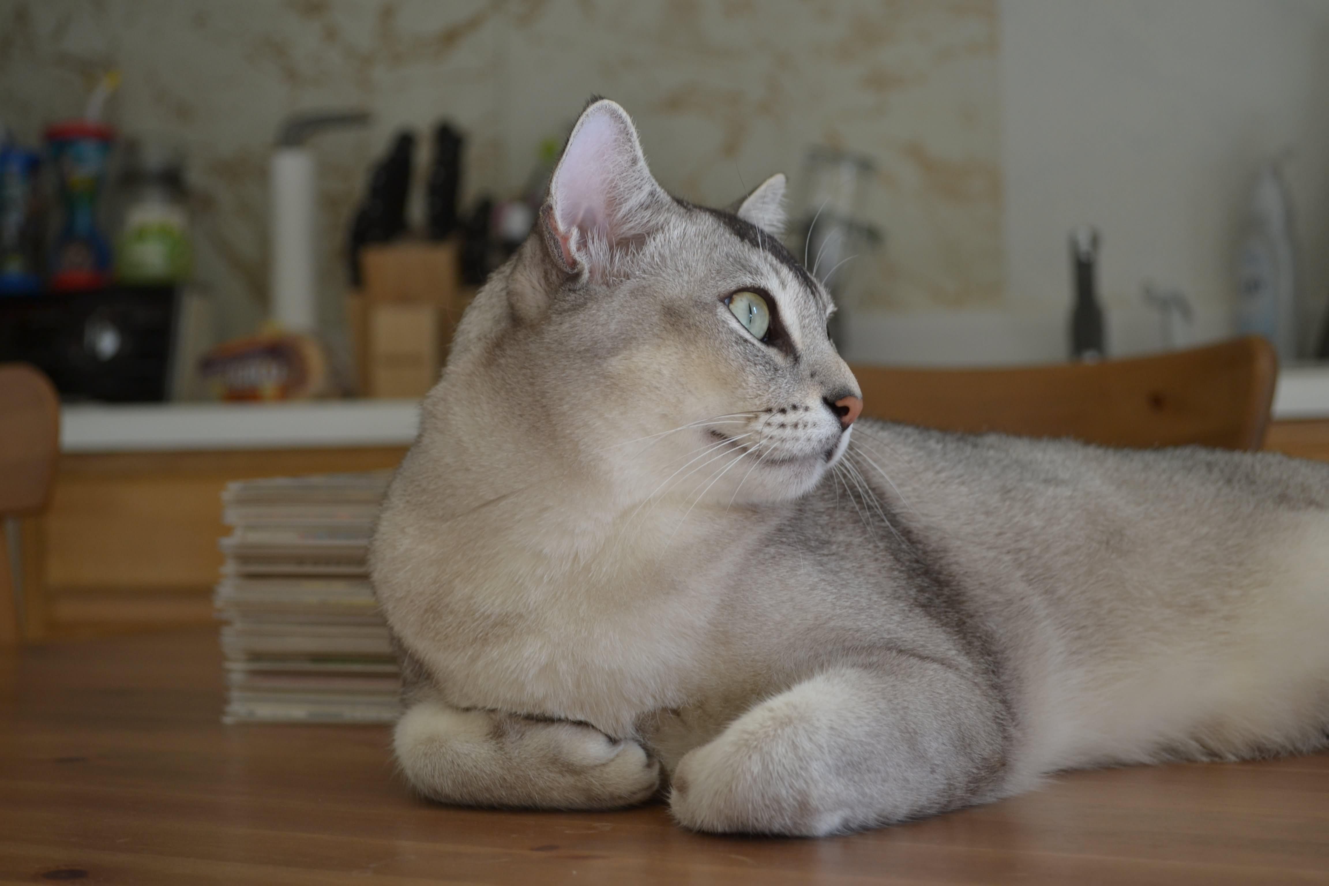 65 Most Beautiful Burmilla Cat Photos And Images