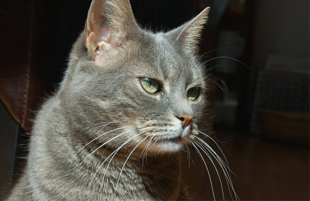 burmilla macska � burmilla cat � cicfarok