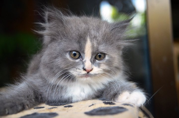 25 Most Adorable Grey Ragamuffin Cat Pictures And Images Grey Fluffy Kittens
