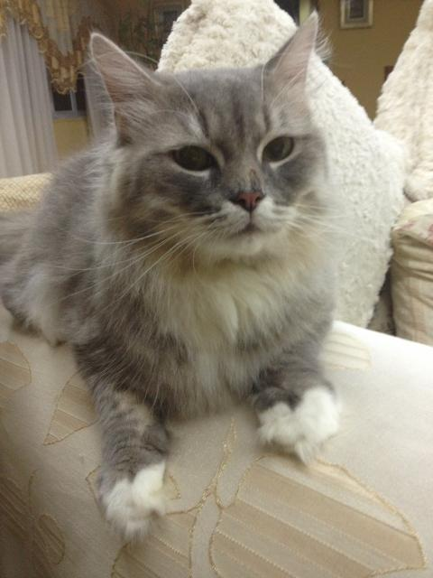 25 most adorable grey ragamuffin cat pictures and images