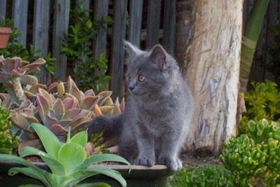 Sharpen Your Claws, Its Time For War [Important, Sunningrocks War] Grey-Ragamuffin-Kitten-Sitting-Garden