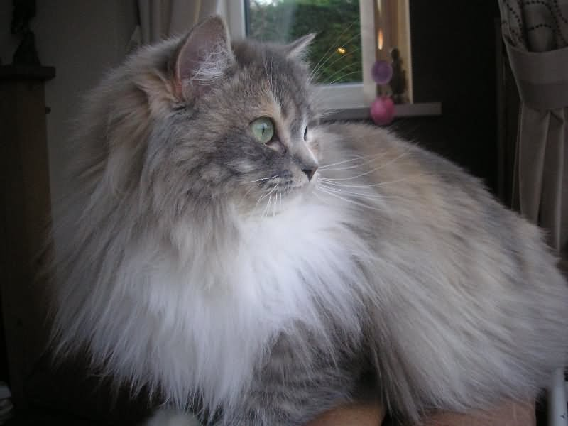 60 Very Beautiful Ragamuffin Cat Pictures And Images