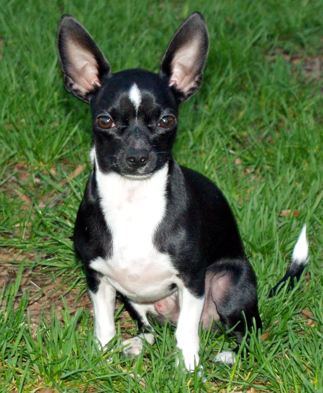 chihuahua black and white 50 most adorable black chihuahua dog photos and images 3192