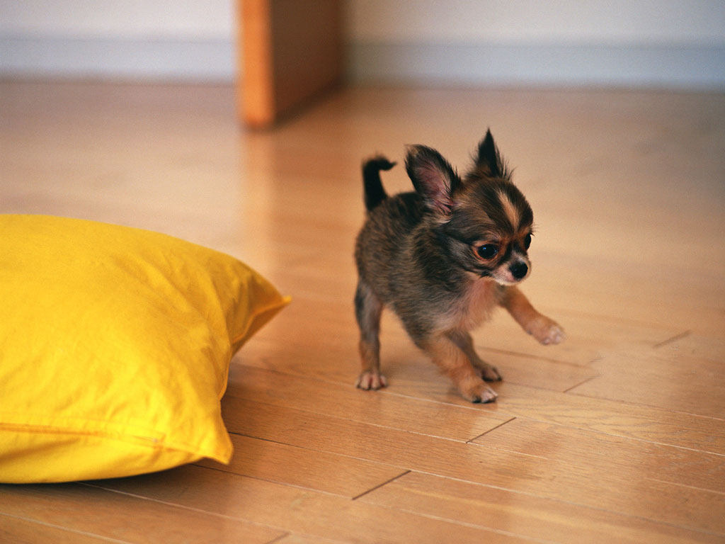Amazing Mini Chubby Adorable Dog - Miniature-Chihuahua-Puppy  Graphic_764431  .jpg
