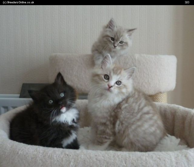 Fluffy White And Grey Cat 30 Very Cute Ragamuffi...