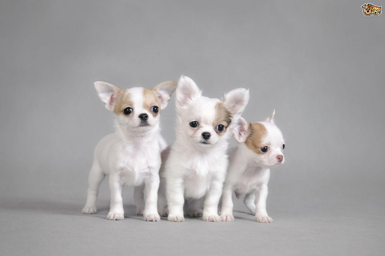 Simple Chihuahua Chubby Adorable Dog - Three-Cute-White-Chihuahua-Puppies  2018_499012  .jpg