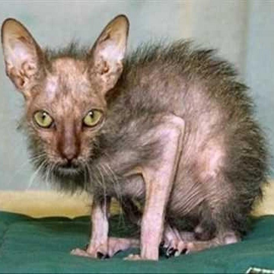 Funny Skinny Cat Image