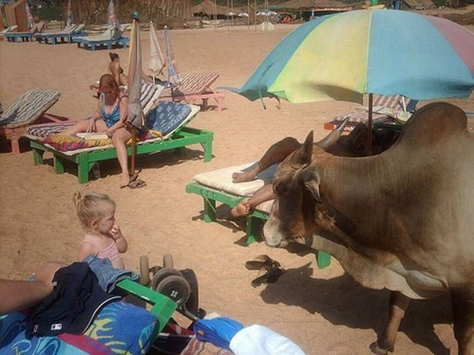 Funny Cows On Beach Picture