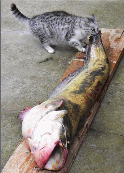 Image result for cat eating fish