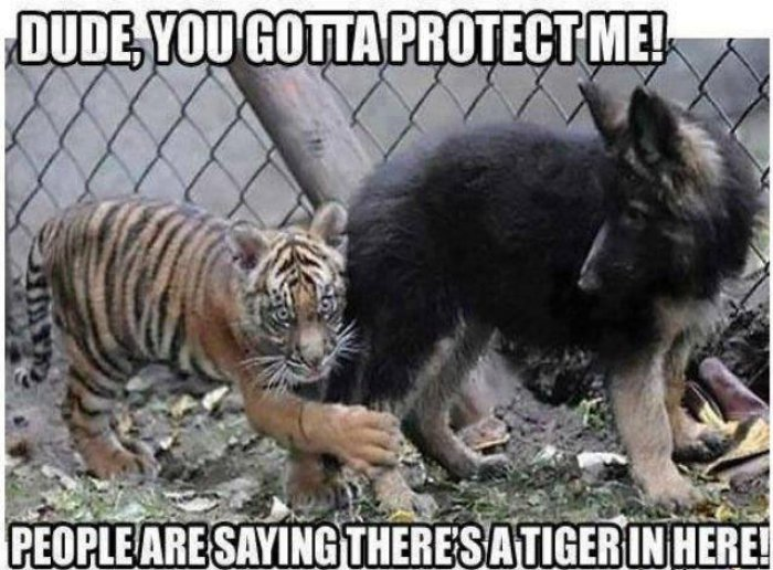 Funny Animal Tiger Say Dude You Gotta Protect Me Meme Image 31 very funny animal meme pictures and images