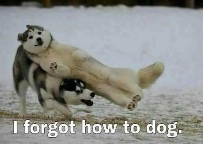 I-Forgot-How-To-Dog-Funny-Animal-Meme-Im