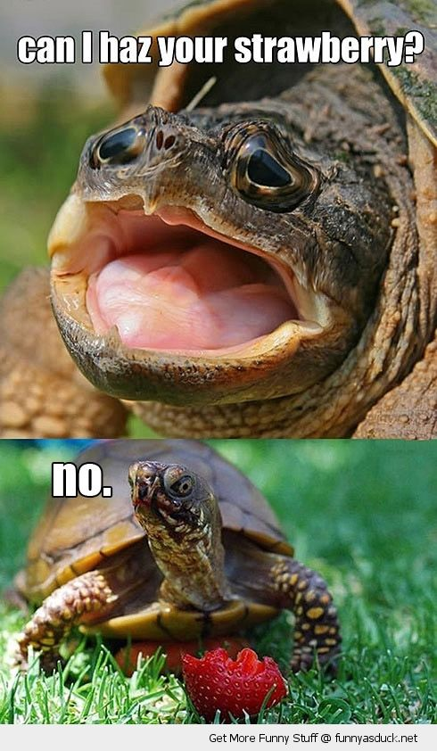 Can I Use A Computer During A Storm: Can I Haz Your Strawberry Funny Tortoise Meme Image