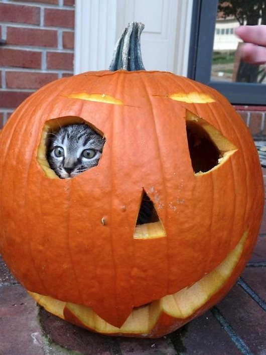 Cat In Pumpkin Funny Halloween Photo
