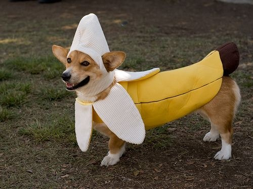 Dog With Banana Halloween Costume Funny Image & 40+ Most Funny Halloween Animal Pictures And Images