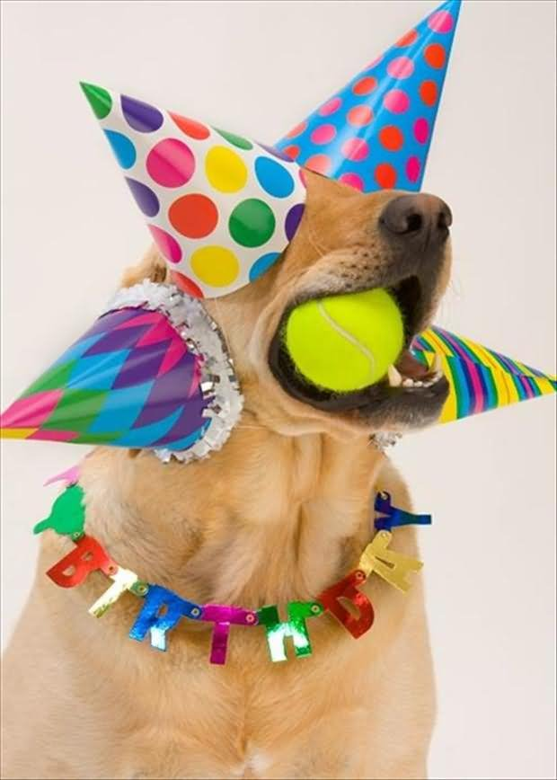 Dog With Birthday Hats Eating Ball Funny Animal Photo