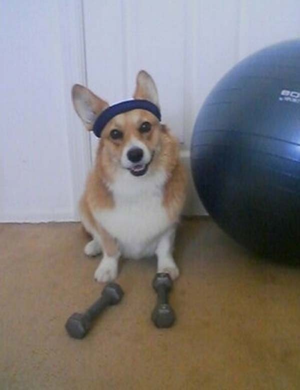Dog-With-Dumbbell-Funny-Exercise-Photo.j