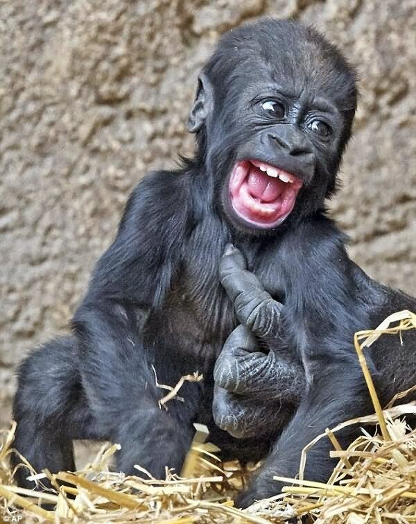 baby chimpanzee funny laughing picture for facebook