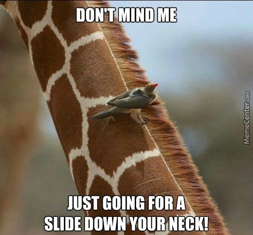 Funny Giraffe Meme Just Going For A Slide Down Your Neck Picture For Whatsapp funny giraffe meme just going for a slide down your neck picture,Giraffe Meme