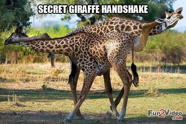Secret Giraffe Handshake Funny Meme Picture