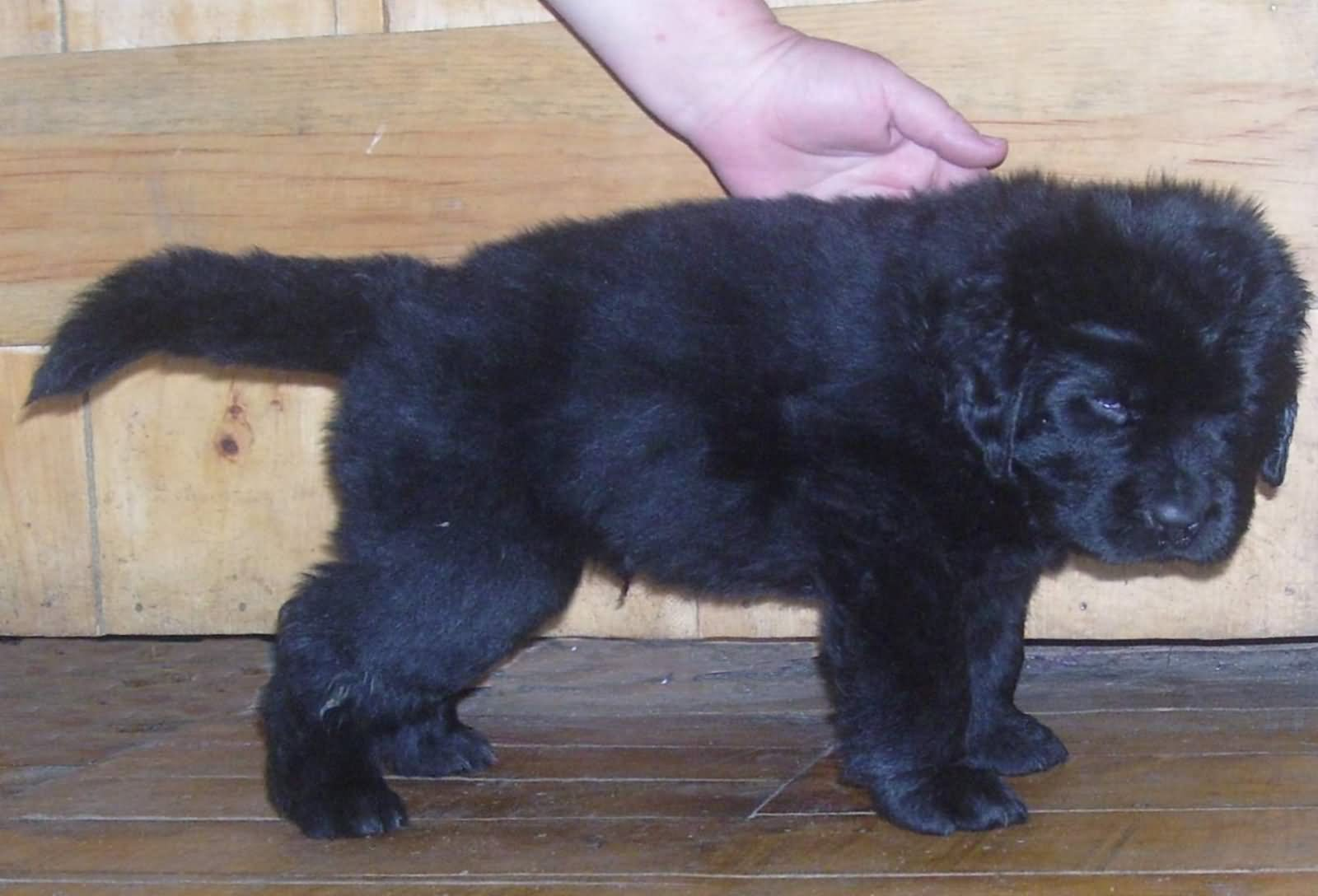 35 very beautiful newfoundland dog pictures - 4 Weeks Old Black Newfoundland Puppy