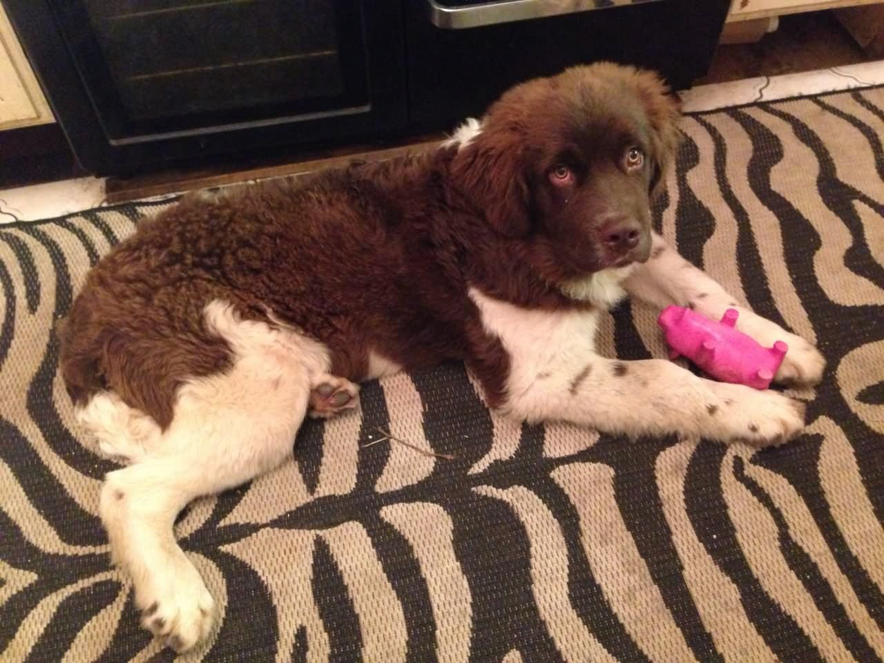 35 very beautiful newfoundland dog pictures - 6 Months Old Brown And White Newfoundland Puppy