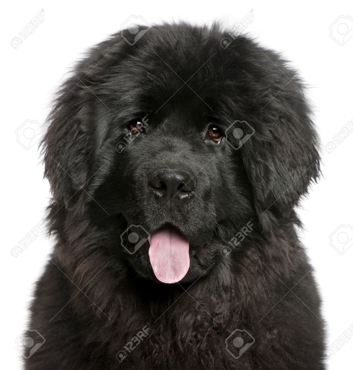 35 very beautiful newfoundland dog pictures - 6 Months Old Closeup Of Newfoundland Puppy