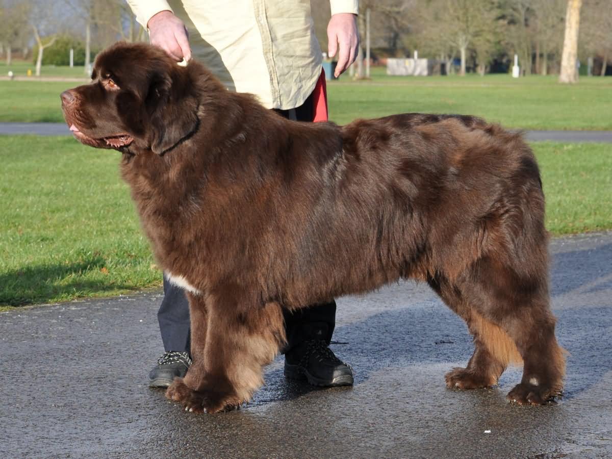 35 very beautiful newfoundland dog pictures - Amazing Brown Newfoundland Dog