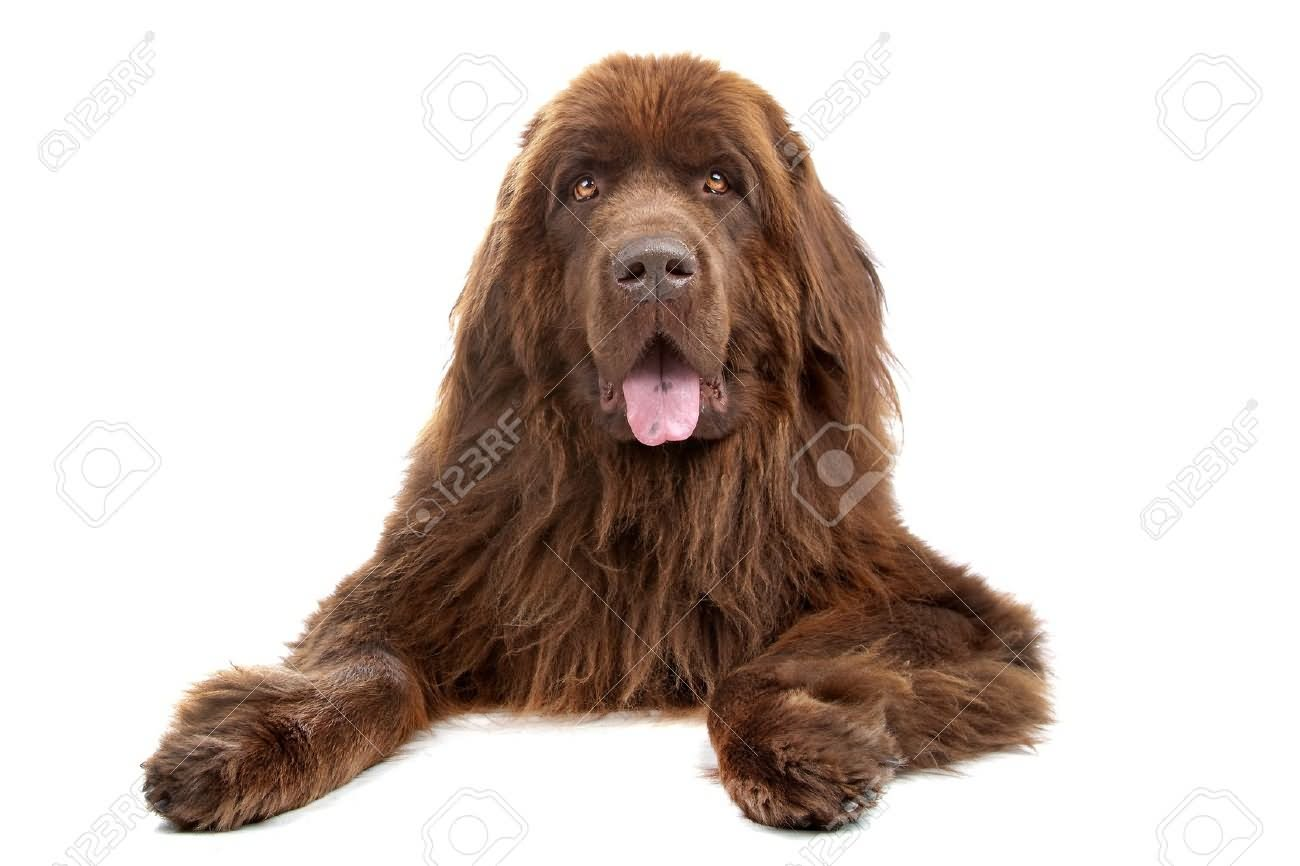 35 very beautiful newfoundland dog pictures - Beautiful Brown Long Hair Newfoundland Dog