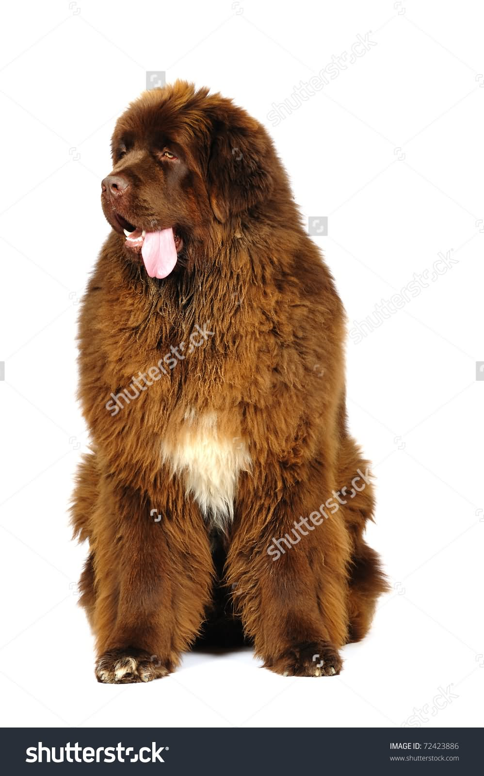 35 very beautiful newfoundland dog pictures - Beautiful Brown Newfoundland Dog Sitting