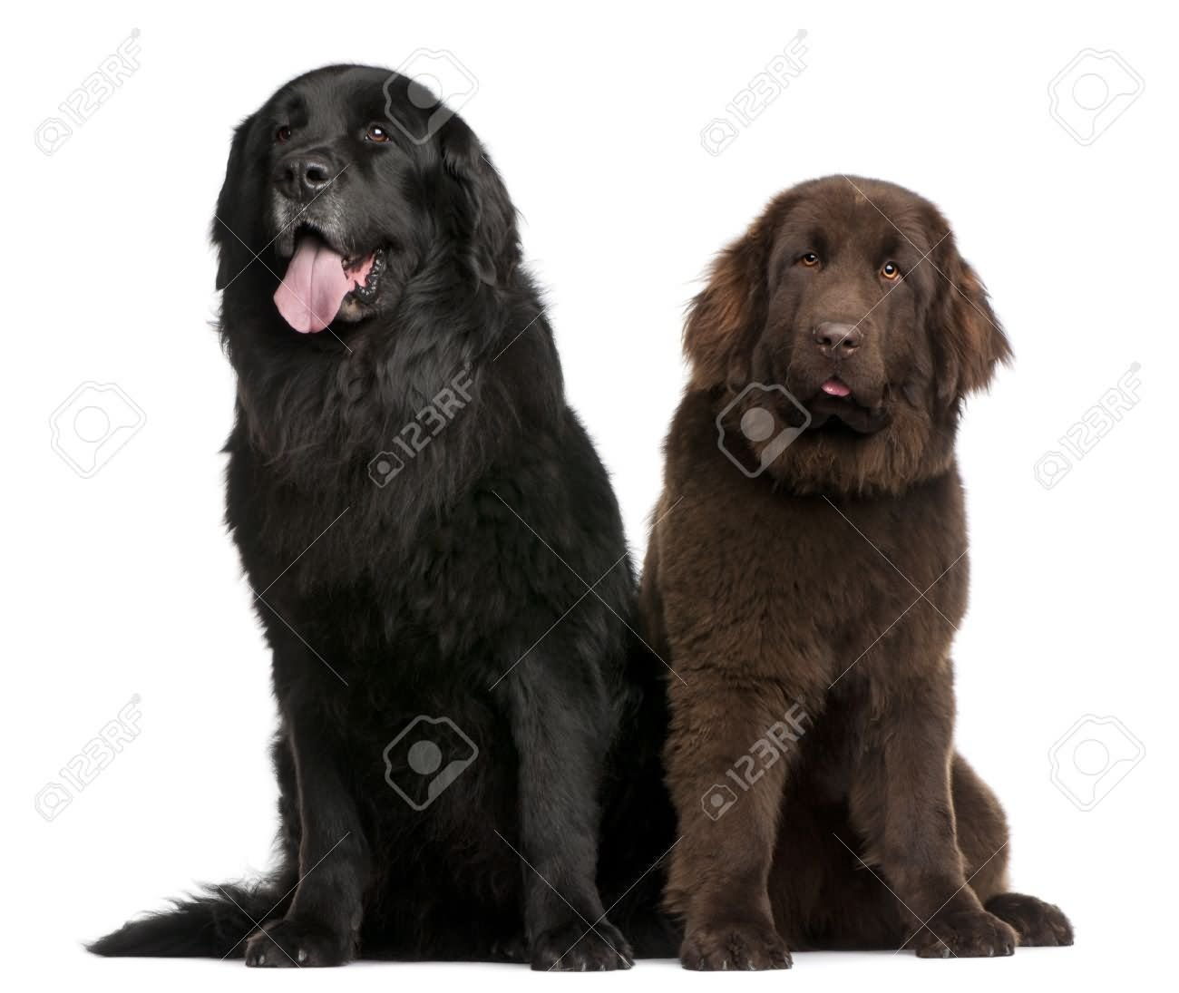 35 very beautiful newfoundland dog pictures - Black And Brown Two Newfoundland Dogs Sitting