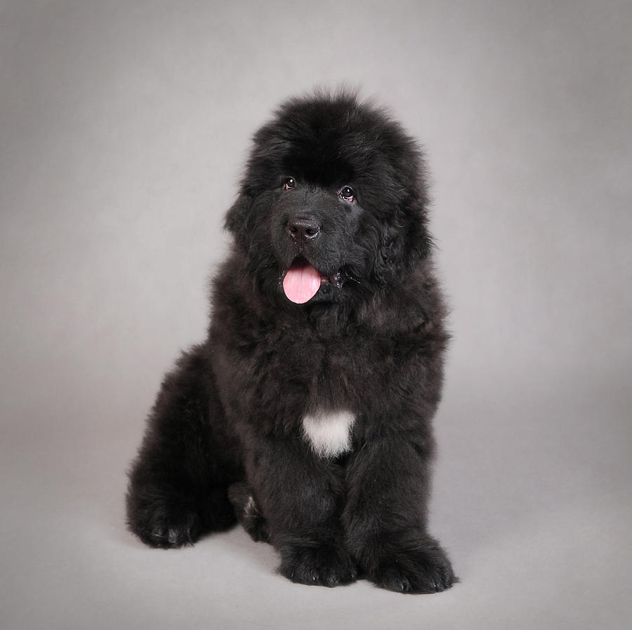 35 very beautiful newfoundland dog pictures - Black Long Hair Newfoundland Puppy Sitting