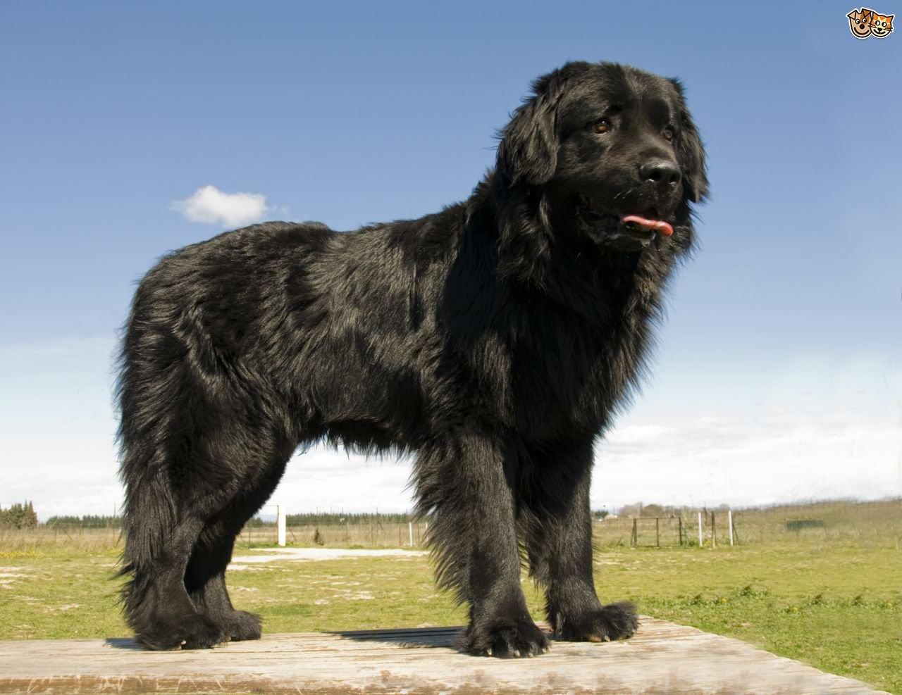 35 very beautiful newfoundland dog pictures - Black Lovely Newfoundland Dog