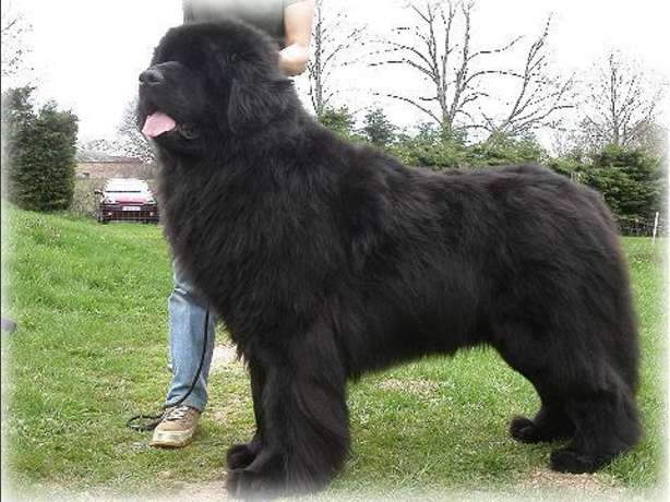 25 Awesome Newfoundland Dog Pictures And Photos