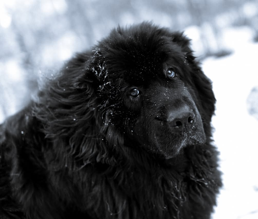 35 very beautiful newfoundland dog pictures - Black Newfoundland Dog In Snow