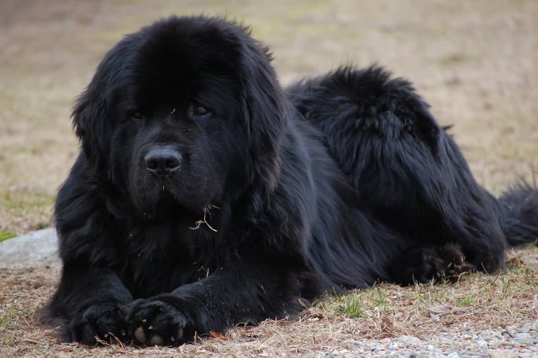 35 very beautiful newfoundland dog pictures - Black Newfoundland Dog Sitting