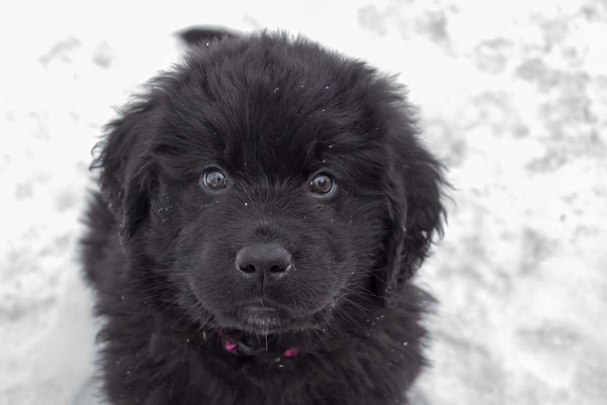 35 very beautiful newfoundland dog pictures - 35 Most Beautiful Newfoundland Puppy Pictures And Photos