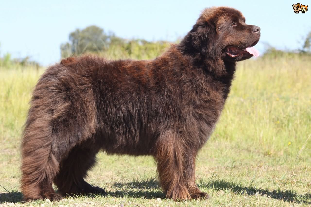 35 very beautiful newfoundland dog pictures - Brown Newfoundland Dog Outside Picture