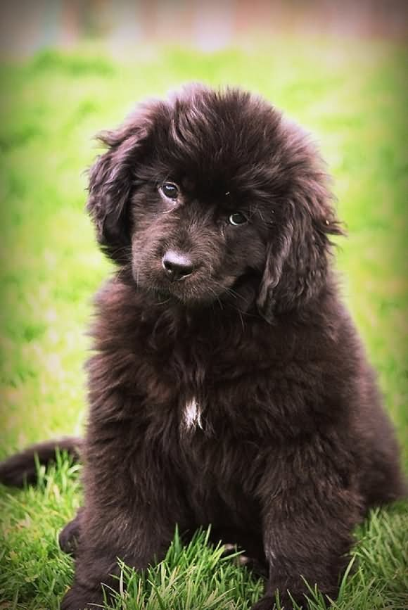 35 Very Beautiful Newfoundland Dog Pictures